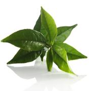 Green Tea Turns on Fat Burning Gene