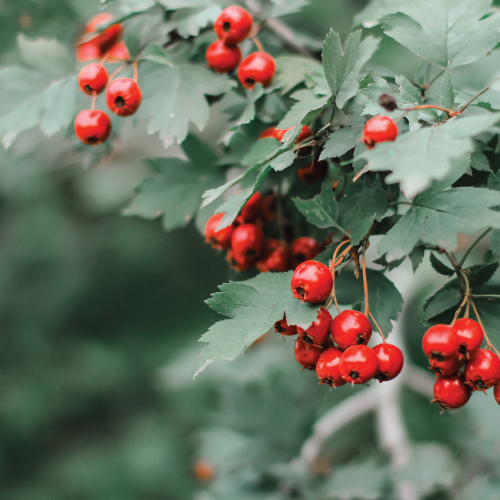 Six Benefits of Hawthorn Berry